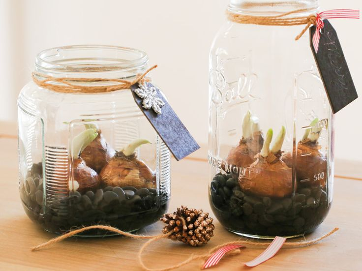 Growing Paperwhites Indoors for the Holidays