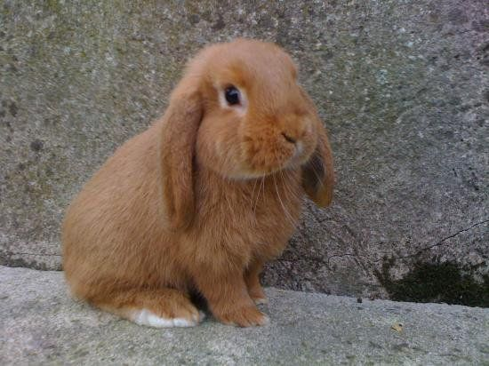 Image - LAPIN NAIN BELIER - My Little Life - Skyrock.com