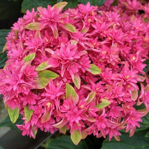 Hydrangea macrophylla x paniculata Princess Diana 'Wow Time'