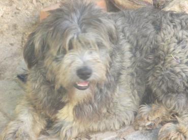 Hund, k.A. (Mischling, Rüde, 1,5 Jahre) Portugal