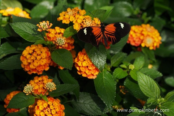A Doris Longwing butterfly, also known as Laparus doris, pictured feeding on Lantana, inside the Butterfly Dome, at the RHS Hampton Court Palace Flower Show 2016.