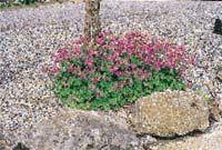 Den underhållsfria trädgården | Planering | Bygg | viivilla.se liten flocknäva Geranium x cantabrigiense