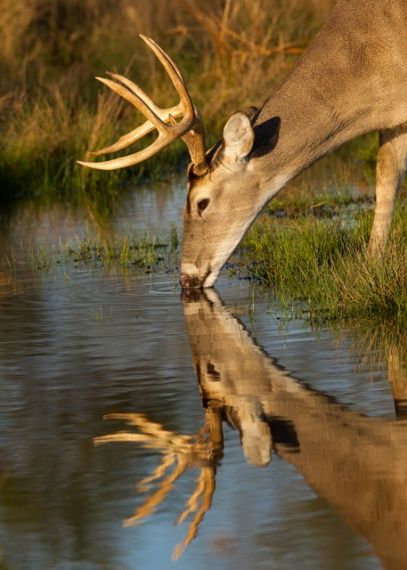 A whitetail buck pauses for some water—and a moment of reflection. Sharon Draker, Bandera EC, sent this in.