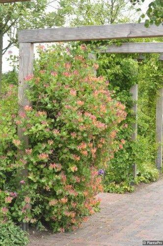 https://www.olerum.de/pflanzenfuelle/kletterpflanzen-winterhart/geissblatt-lonicera-henryi-immergruen