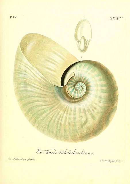 1000 Images About Nautilus Shells On Pinterest Sea Shells Natural History And Golden Ratio