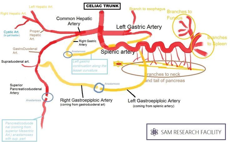 Showing the total extent of the celiac trunk and its branches.