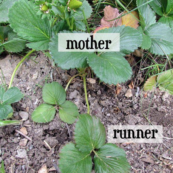 Best 25+ Strawberries garden ideas on Pinterest ...