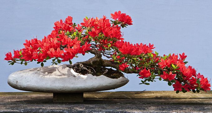 Azalea Bonsai - something that would actually work in Florida. Never thought about this before