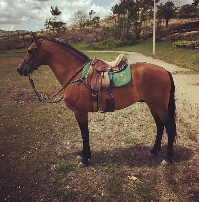 Instagram media by da_cavalgada - Laglória Quarteto Preparado para a Cavalgada Coudelaria da Cavalgada  Gravatá - PE - Brasil  #mangalargamarchador #marchapicada #horse #cavalgada #dacavalgada #cavalos #mm #abccmm #coudelaria #pernambuco #horsesofinstagram #caballo #marcha #haras #noticiasdomarchador #mangalarga_marchador #fazenda #marchador