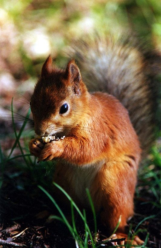 Krukel de eekhoorn wordt als pasgeboren eekhoorntje gevonden op het eiland…