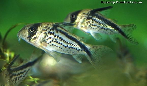 69 best corydoras images on pinterest catfish fish for Fish tank catfish