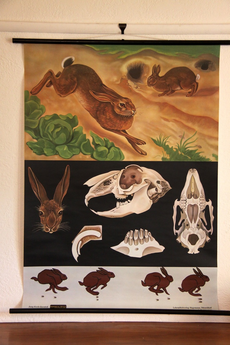Zoology poster design - Find This Pin And More On Animals Anatomy And Motions By Amdexdus Wild Rabbit Zoology Poster