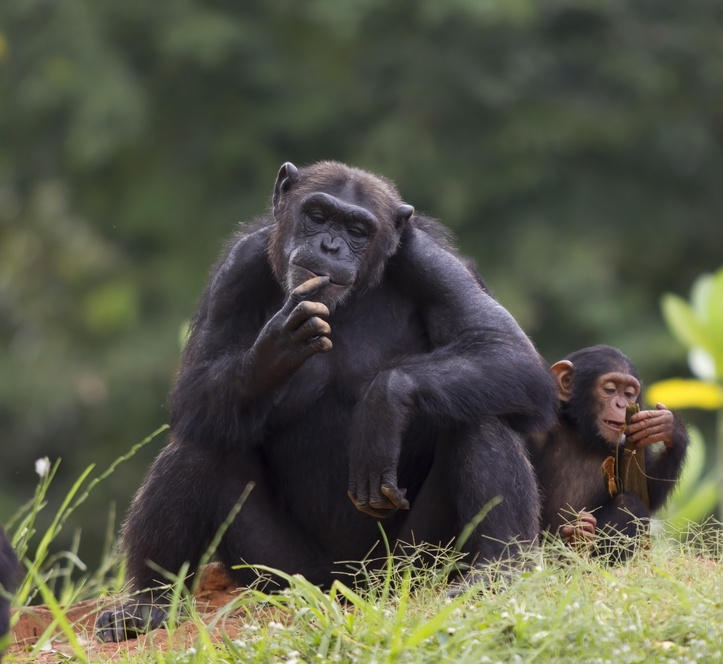 Humans and chimps share genetic strategy in battle against pathogens