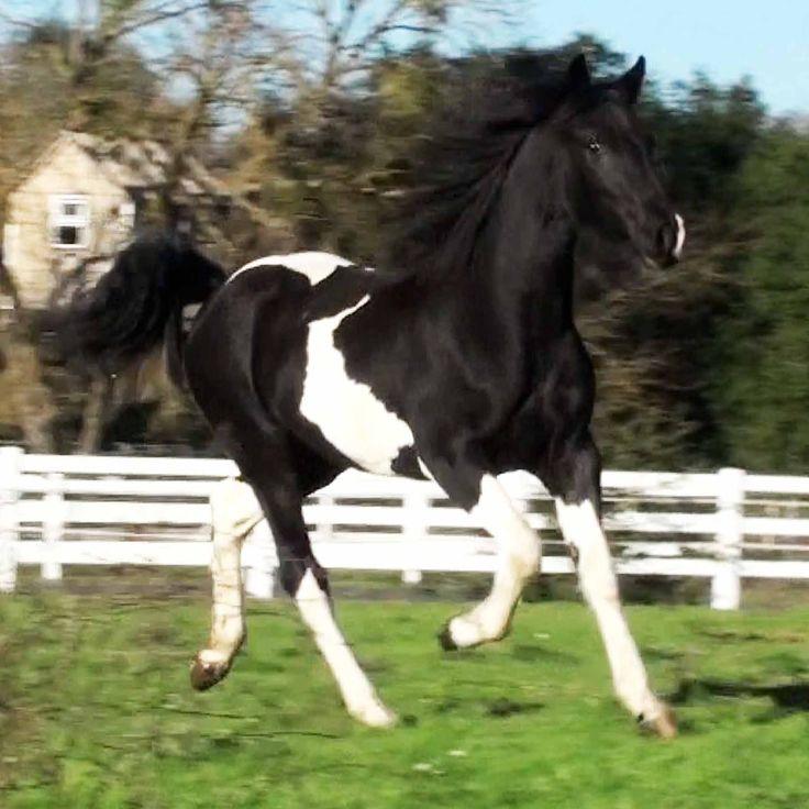 Friesian Paint Horse Cross   CRAZY 4 PAINTS!!