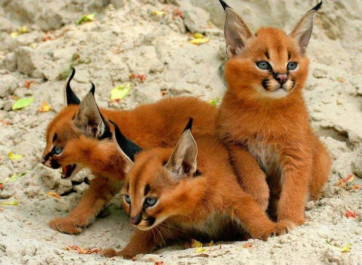 It's no secret that kittens are some of the cutest animals on the planet. Domesticated or wild, these tiny felines are adorably fuzzy with big, curious eyes that are busy taking in their new and exciting world. This sense of wonder is seen in the caracal, a caramel-colored wild cat that lives in Africa and …