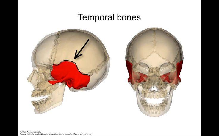 Skull - anatomy tutorial
