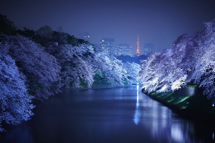 """Il Giappone è una terra di antiche tradizioni. L' hanami - letteralmente """"ammirare i fiori"""" - è una di queste e indica la consuetudine dei giapponesi di riunirsi all'inizio della primavera per ammirare, appunto, i fiori di ciliegio insieme a familiari, amici o colleghi di lavoro. Il fiore di ciliegi…"""