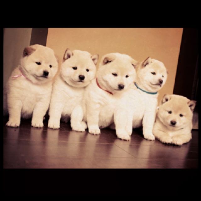 Shiba inus... I want all of these :)