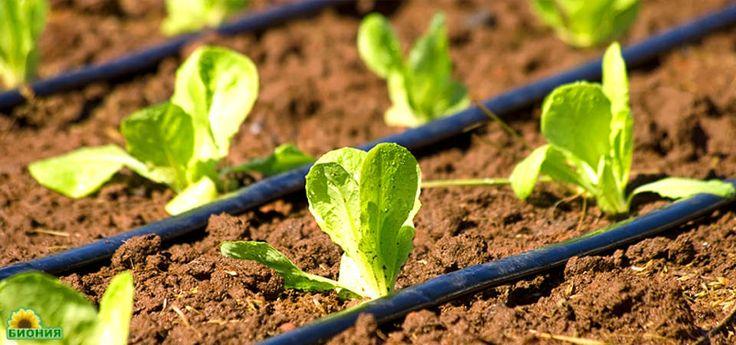 Автоматический полив растений в теплицах на дачном участке