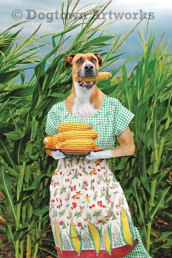Corn Dog No. 1, large original photograph of a boxer dog wearing vintage apron and holding an ear of corn in her mouth