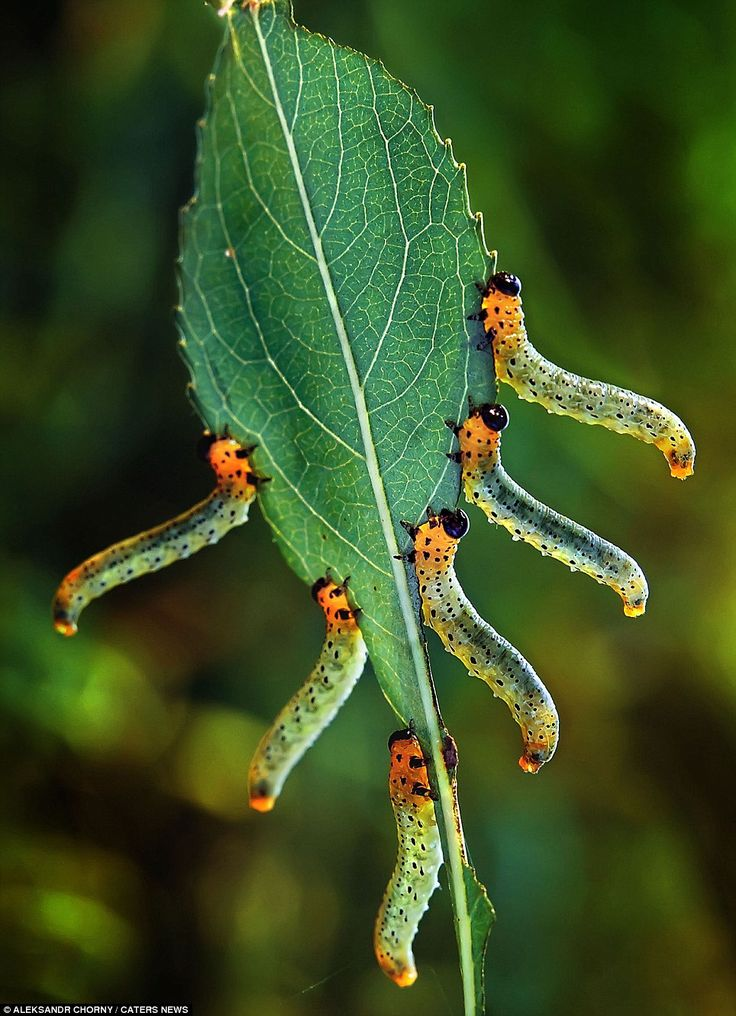 The caterpillars were captured in a series of perfectly executed synchonised moves by a Ukranian photographer.