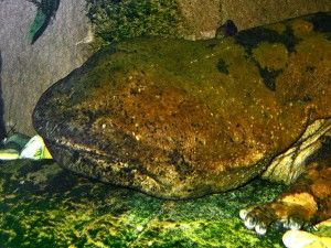 I do not want to eat this biggest amphibian and the biggest salamander in the world - Chinese Giant Salamander.