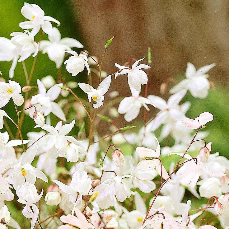 Weiße Elfenblume Auch in Orange, mag Schatten, auch Bodendecker, 30cm