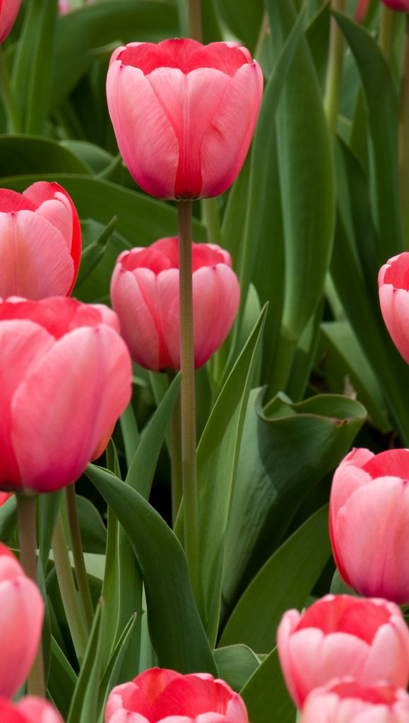 Pink Tulips más tulipanes :3