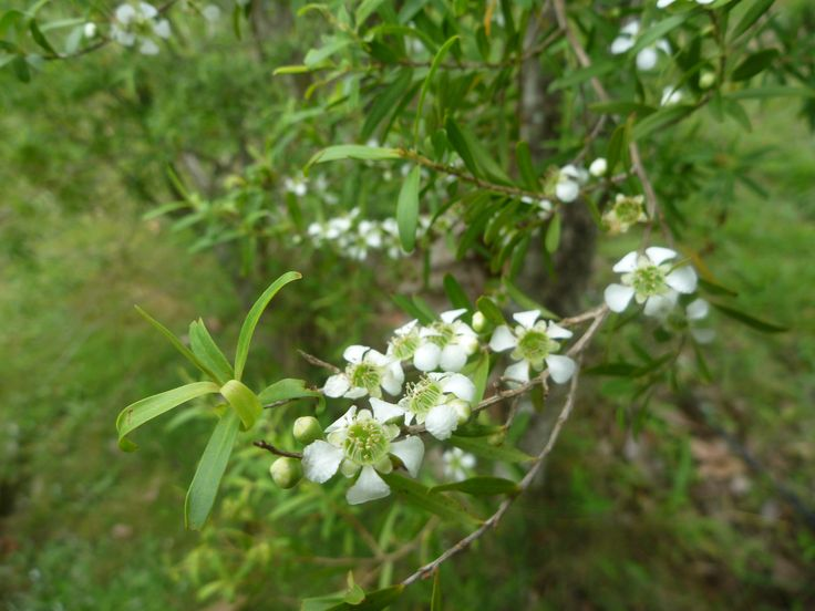 Rose Myrtle (Leptospermum petersonii 'Variety B') in December near Byron Bay.  A new and unique essential oil with lemon, fruit and rose notes.