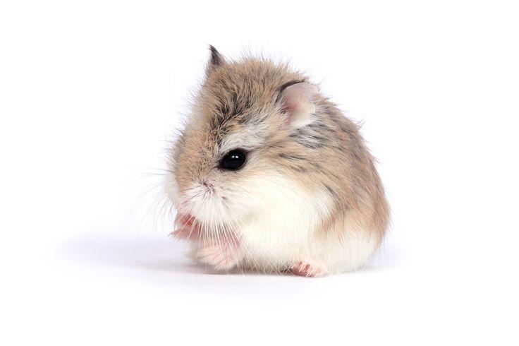 Een Robovroskie dweg hamster