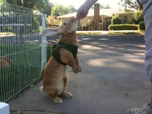 Litterbox trained FLEMISH GIANT rabbit babies.