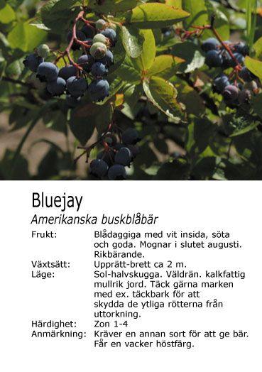 amerikan. blåbär som är planterade mot stallväggen.