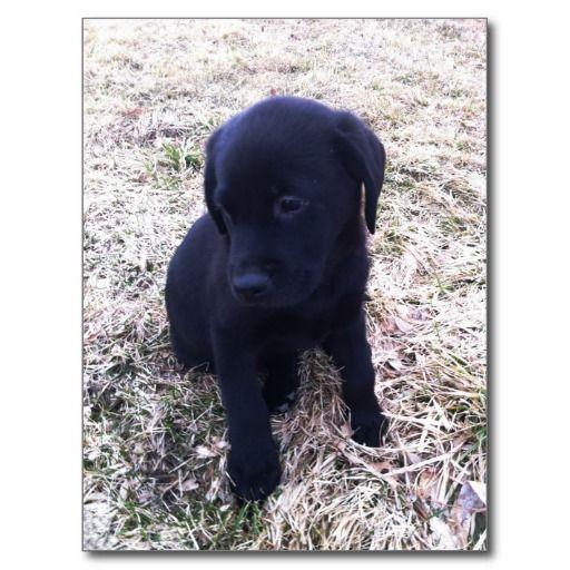 Black Labrador Retriever Puppy Post Cards