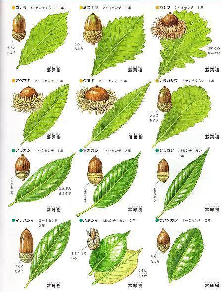 ナラやカシなどブナ科の木の実をどんぐりとよんでいます。シイの実やクリもこの仲間です。どんぐりの実る木には落葉樹と常緑樹があります。 どんぐりはその木が増えるための大切な種であるとともに、森で暮す動物たちの食料でもあります。 どんぐりには春の花からその年の秋まで熟すものと翌年の秋...