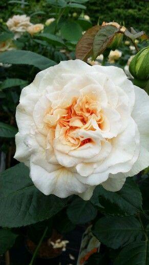 Rosa Comtessa