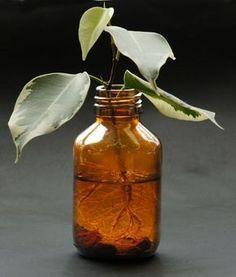 Hormone de bouturage naturelle: comment l'obtenir, la fabriquer et l'utiliser pour favoriser le bouturage.