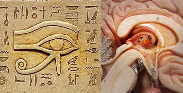 SOURCE BING IMAGES.......La glande pinéale a différents noms tels que la glande pinéale, épiphyse cerebri, épiphyse ou le troisième œil. Cette petite glande endocrine est situé dans le cerveau des vertébrés, entre les deux hémisphères de la jonction des corps thalamiques dans le centre du cerveau......