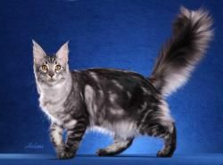 #MaineCoon #BlackSilverClassic #Black #Silver #Cats Shiner Bock photo by #HelmiFlick