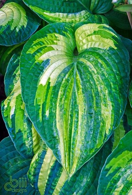 "hosta ""dorothy benedict""...love the blues and greens of this variety!"