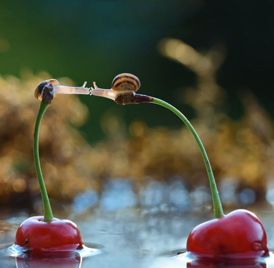 Funny Pictures of the week, 101 images. Snails Kissing On Top Of Cherries
