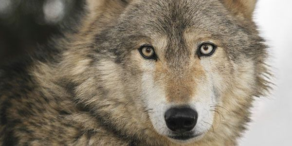 Urge Congressman Dutch Ruppersberger to STAND WITH THE WOLVES. http://www.thepetitionsite.com/306/771/124/urge-congressman-dutch-ruppersberger-to-stand-one-with-the-wolves/ #SeaShepherd #defendconserveprotect