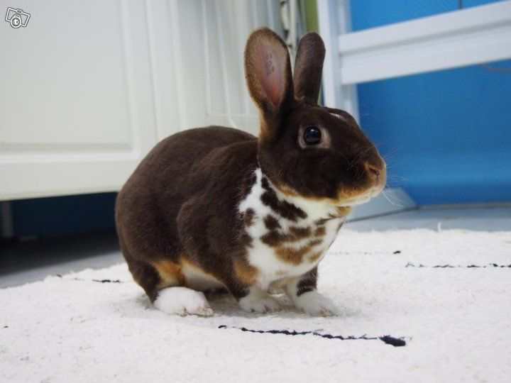 Chocolate Otter Mecklenburger Scheck Mini Rex #Rabbit | via Tori.fi