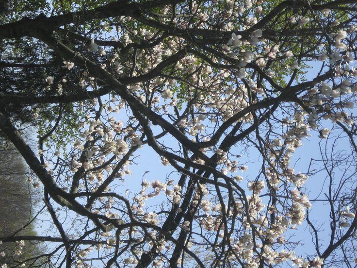 Magnolia Tree in bloom in late April - totally rare!