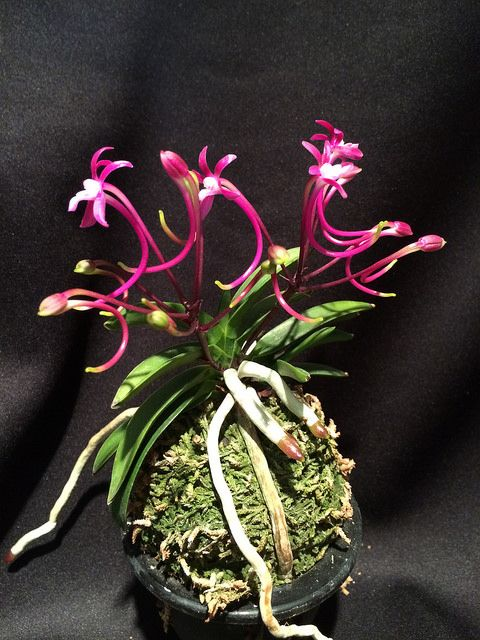 Neofinetia falcata Raikoumaru | Flickr - Photo Sharing!