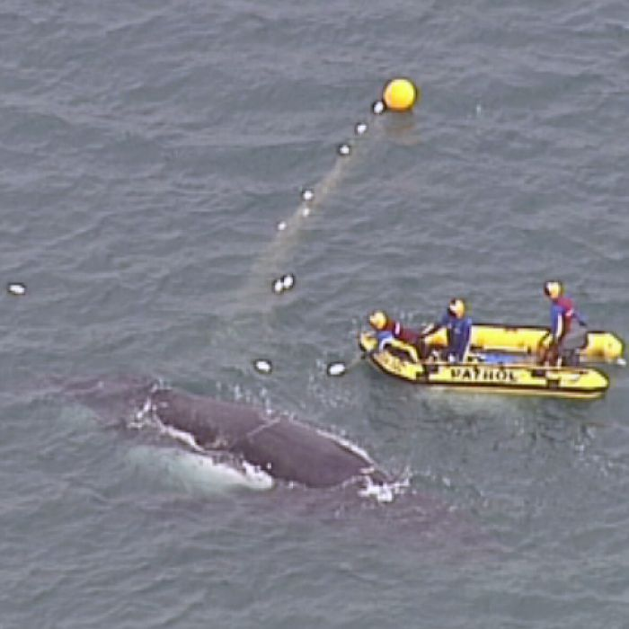 Whale migration leaves NSW Government in a tangle on north coast shark nets