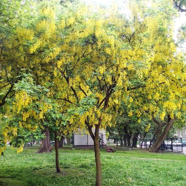 złotokap drzewo - Szukaj w Google