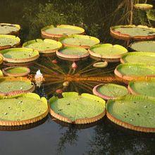1 Zaden/pack, vijver Sier Gaint Lelie Zaden, Rare Santa Cruz Waterlelie # M180(China (Mainland))