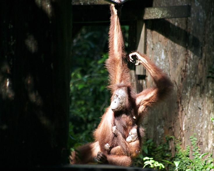Hanging out with the orang-utans of BorneoSaving Orange, Orange Utan