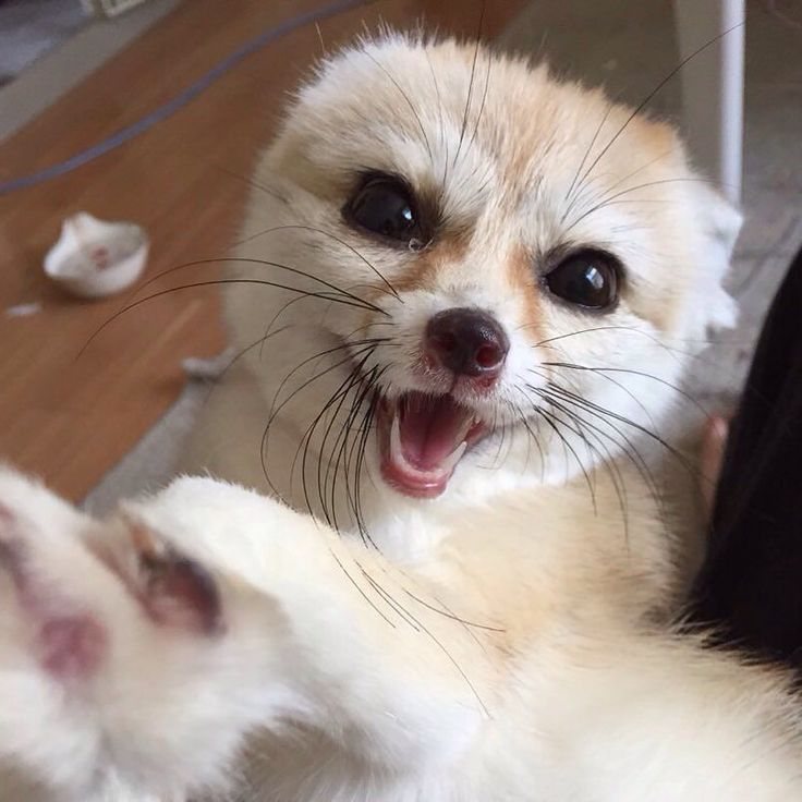 今日もご機嫌 . . #フェネック #fennecfox #fennec #fox #pet #instapet #instafox #exoticanimal #キツネ #ペット #ファインダー越しの私の世界 #love #family #japan #cute #ふわもこ部#α99 by arashitokomugi