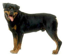 I love my Rottweiler. He is mine and my kids best friend.